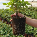 Not potted rose, without root system!