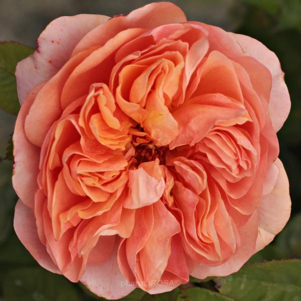 cf26440e89 Narancssárga - angol rózsa - intenzív illatú rózsa - Rosa Ellen ...