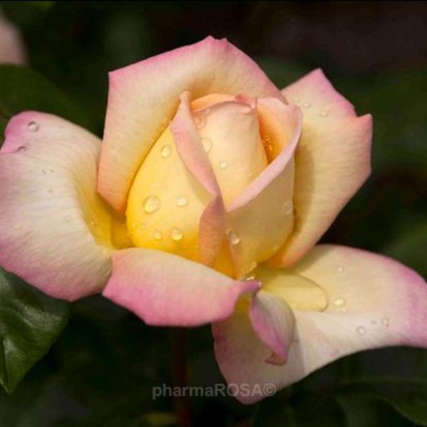 979b89eae6 Sárga - Rózsaszín - teahibrid rózsa - intenzív illatú rózsa - Rosa ...