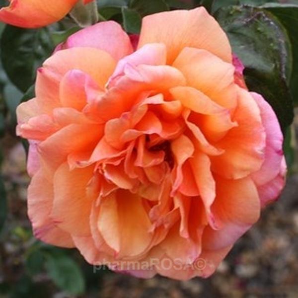 c0ae87f24d Sárga - Rózsaszín - teahibrid rózsa - közepesen intenzív illatú ...