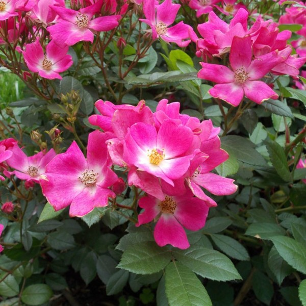 Trandafir Ernye - 0 - trandafiri miniatur - pitici