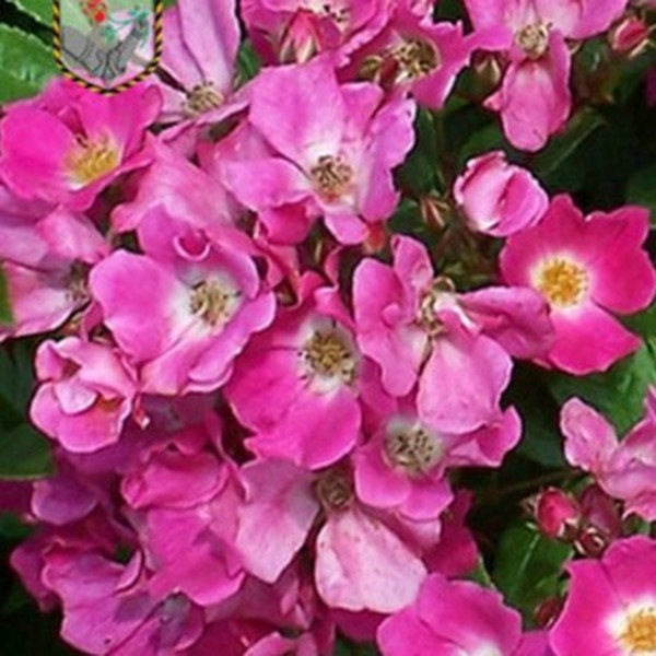 0 - trandafiri miniatur - pitici