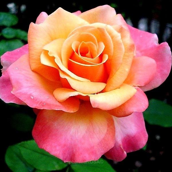 16d866927b Sárga - Rózsaszín - teahibrid rózsa - enyhén illatos rózsa - Rosa ...