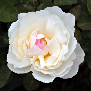 White Mary Rose - white - english rose