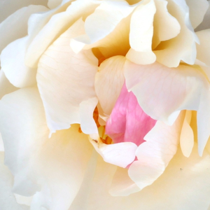 Roses Online Delivery - White - english rose - discrete fragrance -  White Mary Rose - David Austin - -