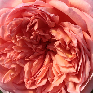 Buy Roses Online - Pink - english rose - intensive fragrance - Candy Rain - David Austin - -