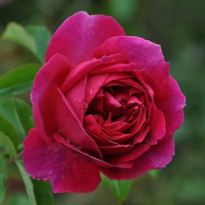 Macbeth - pink - english rose