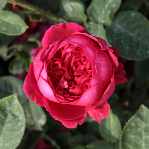 Diablotin - red - bed and borders rose - floribunda