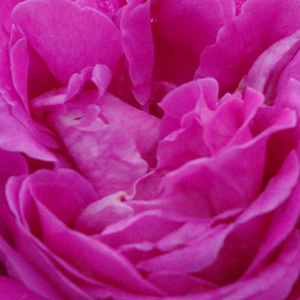 Rose Shopping Online - Pink - portland rose - discrete fragrance - Duchesse de Rohan - Louis Lévêque & Fils - Lasting, numerous flowers