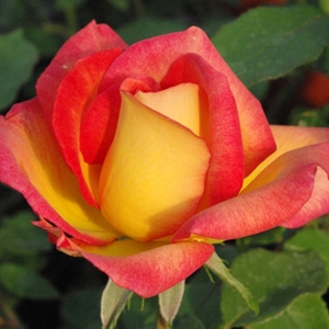 Alinka - yellow - red - bed and borders rose - floribunda