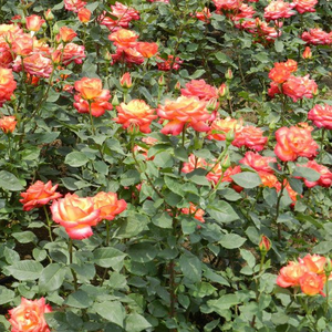 Lively red, lively yellow petal edge - bed and borders rose - floribunda