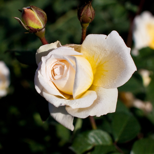 Moonsprite - yellow - bed and borders rose - floribunda