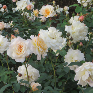 White yellow petals inside - bed and borders rose - floribunda