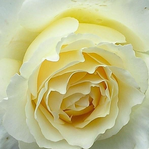 Buy Roses Online - Yellow - bed and borders rose - floribunda - intensive fragrance - Moonsprite - Herbert C. Swim - Well growing bushy rose, ideal for flowerbed rose as well, lasting blooming