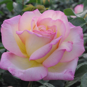 Light warm yellow dark redish, pink edges - hybrid Tea