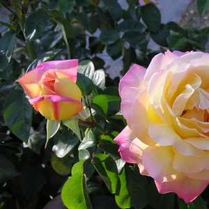 Old, favourite type of the rose friends with beautiful flowers. One of the most famous yellow hybrid tea.