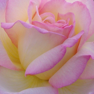 Rose Shop Online - hybrid Tea - yellow - pink - Béke - Peace - moderately intensive fragrance - Francis Meilland - Old, favourite type of the rose friends with beautiful flowers. One of the most famous yellow hybrid tea.