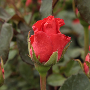 Clarita - red - hybrid Tea