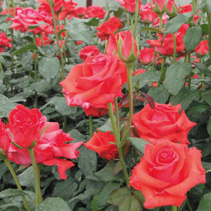 Warm red - hybrid Tea
