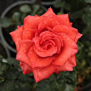 Rose Sales Online - Clarita - red - hybrid Tea - discrete fragrance - Francis Meilland - Perfect for cutting rose, lasting blooming. Vivid coloured.