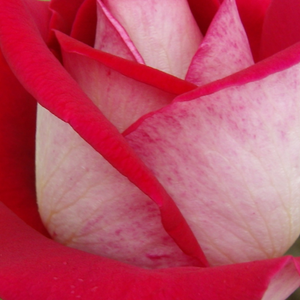 Buy Roses Online - Red - hybrid Tea - moderately intensive fragrance -  Bajazzo® - Reimer Kordes - Flashy, beautiful coloured flowers, moderately durable.