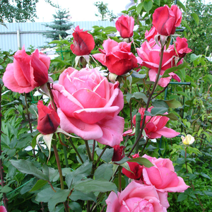Light pink, darker awry - hybrid Tea