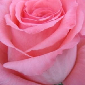 Rose Shopping Online - Pink - hybrid Tea - moderately intensive fragrance - Bel Ange® - Louis Lens - Beautiful, stringy rose, with flashly vivid flowers.