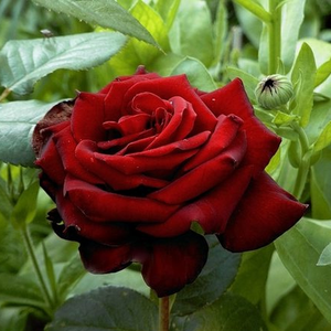 Very dark crimson, does not fade - hybrid Tea