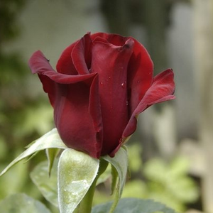 Schwarze Madonna™ - red - hybrid Tea