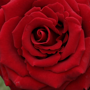 Rose Shopping Online - hybrid Tea - red - Schwarze Madonna™ - discrete fragrance - Wilhelm II Kordes  & Reimer & Werner Kordes - Good for bed and border and looks good planted in a group.
