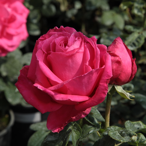 Rosa Miss All-American Beauty - roze - theehybriden