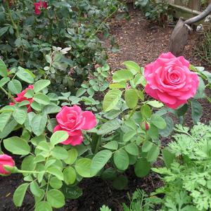f0f19d60bf86bc Rose - rosiers hybrides de thé - parfum intense - Rosa Miss All ...