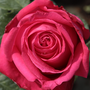 Roses Online Delivery - Pink - hybrid Tea - intensive fragrance -  Miss All-American Beauty - Marie-Louise (Louisette) Meilland - Good for bed and border, looks specious planted in groups.