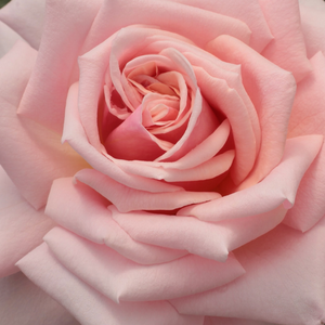 Rose Shopping Online - hybrid Tea - pink - Budatétény - moderately intensive fragrance - Márk Gergely - Old rose with large flowers, lasting blooming, beautiful colours, relaxing flowers