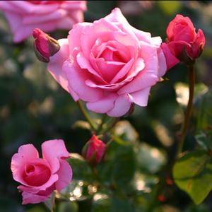 magyal rózsa smirgli fogyás fogyni, miközben a hrt