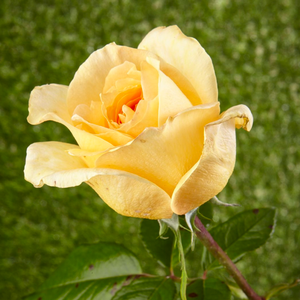Casanova - yellow - hybrid Tea
