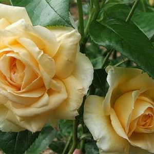 Straw yellow - hybrid Tea