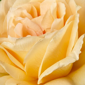 Rose Shopping Online - Yellow - hybrid Tea - moderately intensive fragrance - Casanova - Samuel Darragh McGredy IV - Lot of flowers, special colours, lasting, perfect cut rose.