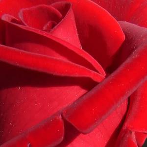 Rosso - Rose Ibridi di Tea - Rosa molto intensamente profumata ...