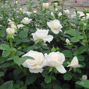 Creamwhite, darker middle - hybrid Tea