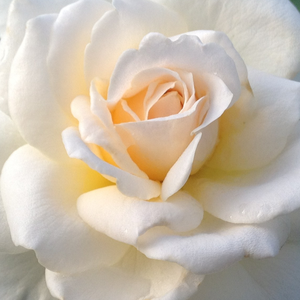 Buy Roses Online - White - hybrid Tea - moderately intensive fragrance - Márton Áron - Márk Gergely - Specious, rich in flowers, queen of the bed and borders.
