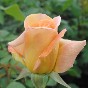 Diorama - yellow - hybrid Tea