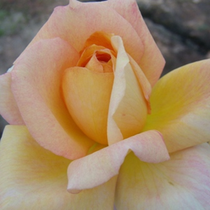 Dark yellow - hybrid Tea