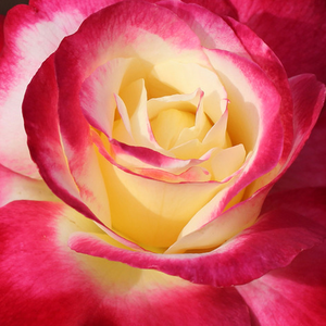 Buy Roses Online - Red - White - hybrid Tea - intensive fragrance - Double Delight - Herbert C. Swim, A.E. & A.W. Ellis - Very strong, luscious rose. It develops well in green house in hot, dry weather outdoors