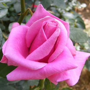 Real purple rose, buy this if you like purple.