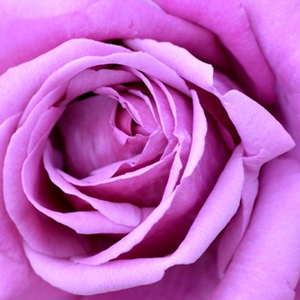 Buy Roses Online - Purple - hybrid Tea - intensive fragrance - Eminence - Jean-Marie Gaujard - Real purple rose, buy this if you like purple.