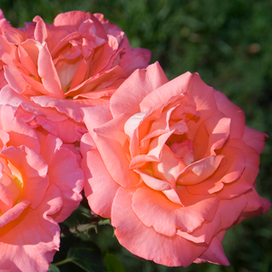Salmon pink, yellow inside - hybrid Tea