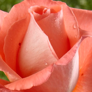Rose Shopping Online - hybrid Tea - orange - Fortuna® - discrete fragrance - Reimer Kordes - Antique, good growth, good for cutting rose.