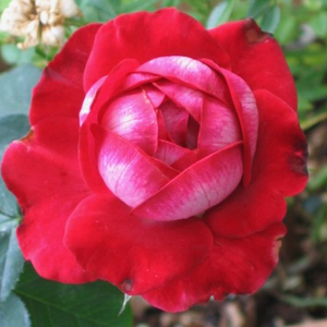 Red, lighter petal edges - hybrid Tea