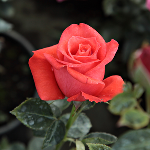 Prominent® - red - bed and borders rose - grandiflora - floribunda